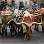 The annual National Western Stock Show Parade heads up 17th avenue in Denver, Colorado.